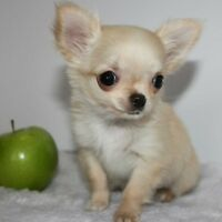 Looking for Apple head Chihuahua puppy or dog