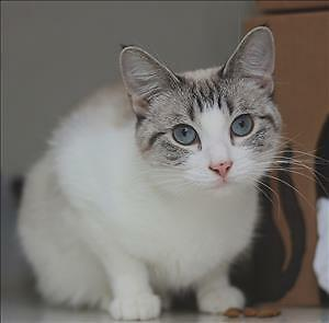 "Adult Female Cat - Domestic Short Hair: ""Truffles"""
