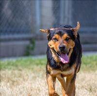 "Young Male Dog - Rottweiler: ""Alex"""