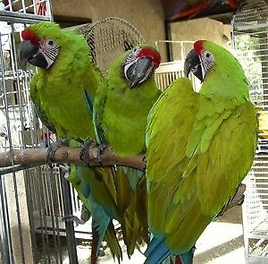 HAND RAISED VERY FRIENDLY RARE BUFFON MACAW BABIES