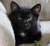 "Baby Male Cat - Domestic Short Hair: ""Rex"""