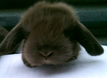 ♥#♥IMPORTANT BUYING ONE OF OUR VACCINATED MINI LOPS & WHY
