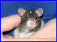 Wanted 2 female baby rats