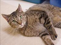 "Adult Female Cat - Domestic Short Hair: ""Kandy"""