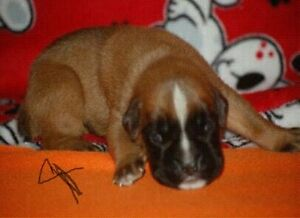 Beautiful boxer puppies, male and female, looking for families