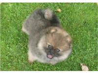 KC registered Pomeranian girl