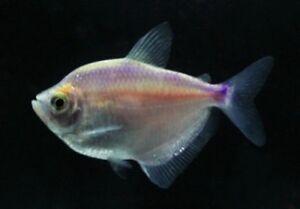 white skirt Tetra purple fish 6x de dispo