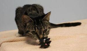 "Young Female Cat - Domestic Short Hair-Tabby: ""Aubrieta"""