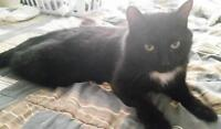 """Adult Male Cat - Domestic Short Hair-black and white: """"