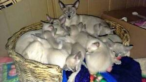 Siamese Blue and Lilac Point Kittens Perth Perth City Area Preview