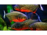 3x Red Bellied Piranha 5-6cm Live Tropical Fish Aquarium