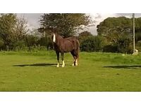 Welsh cob type. Section C