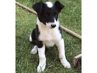 9 week old Male border collie pup for sale