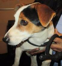 Jack Russell (Max) is ready for adoption York York Area Preview
