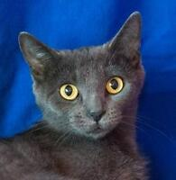"Young Female Cat - Domestic Short Hair: ""Amara"""