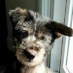"Adult Male Dog - Terrier: ""Ballyhoo"""