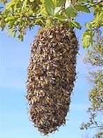 honey bee swarm pickup - Free
