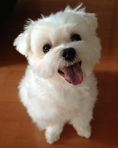 Looking for a Maltese puppy!