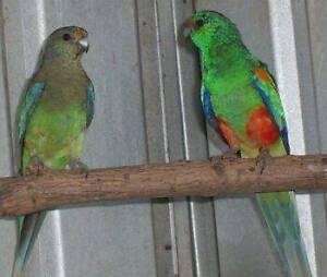 Mulga Parrot pair Wattle Grove Kalamunda Area Preview