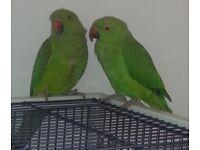 indian ringneck/redneck/rose-ringed parrots talking birds for sale