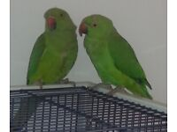 indian ringneck/redneck/rose-ringed parrots talking birds for sale