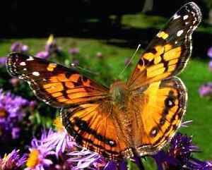 SPRING HAS SPRUNG - TIME FOR YOUR PAINTED LADY BUTTERFLY KIT