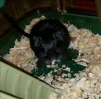 """Young Male Small & Furry - Gerbil: """"Kevin"""""""