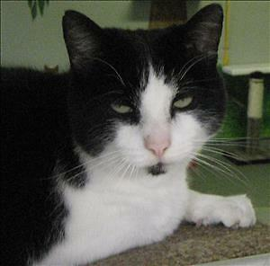 "Adult Male Cat - Domestic Short Hair: ""Zeke"""