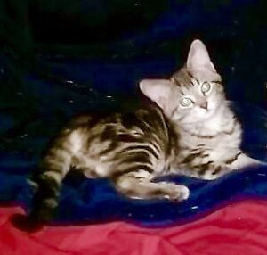 Kitten with beautiful markings ready for adoption