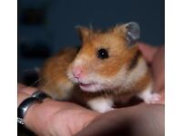 hobby hamstery syrian baby hamsters ready for new homes now