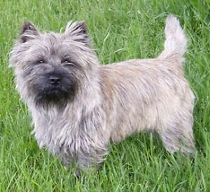 WANTED: Cairn, Westie or Norwich terrier