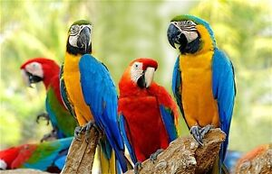 Looking for natural molted parrot/macaw feathers