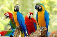 Looking for natural molted parrot feathers