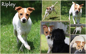 Jack Russell - Ripley is lost