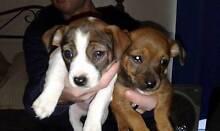 Mini Foxie Cross Cavalier - 2 male pups Goulburn 2580 Goulburn City Preview