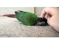 TAME MALE BABY CONURE WITH DNA TEST