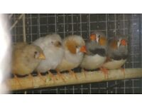 zebra finch for sale both sexes this years young