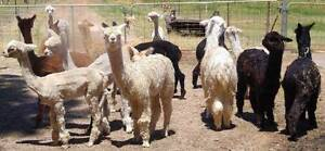 Male Alpaca Pets for Sale Bullsbrook Swan Area Preview