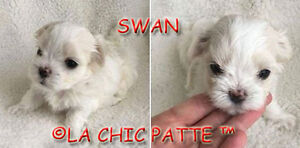 BEAUTIFULL TCUP, TINY TOY, TOY KOREAN MALTESE PUPPIES