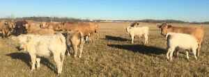 20 bred Charolais cows for sale Strathcona County Edmonton Area image 1