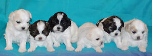 Shih Tzu Poodle Puppies ONLY 4 LEFT!