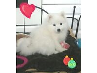 KC REG JAPANESE SPITZ GIRL