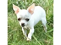 STUNNING WHITE SMOOTH COAT KC CHIHUAHUA GIRL