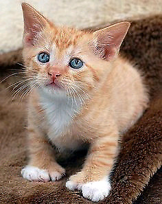 Looking for a kitten with extra toes