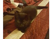 Cute Black Kitten FOR SALE