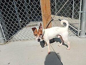 """Adult Male Dog - Jack Russell Terrier: """"Milo"""""""