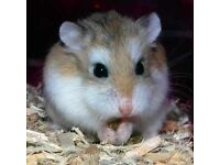 Robo Hamster for sale