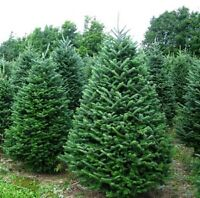 Christmas Trees Fresh Cut and Live in pot available