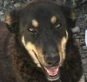 "Young Male Dog - Shepherd: ""MONTANA"""
