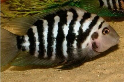 Convict Fish For Sale Convicts Cichlid For Sale